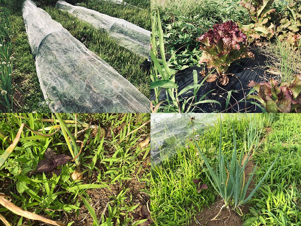 イマハ菜園で栽培されている野菜